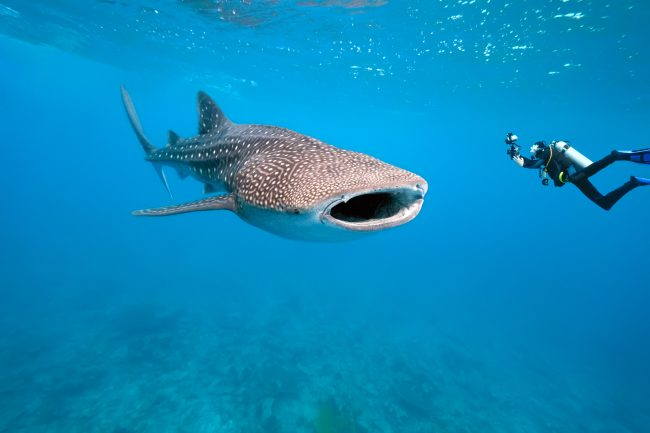 Swimming with Whale Sharks in Cabo San Lucas