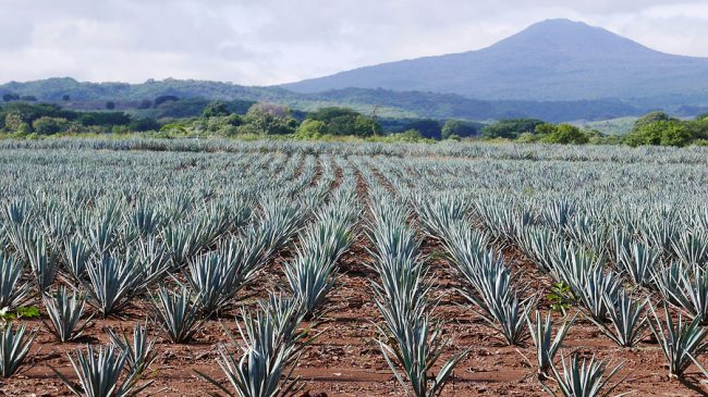 Blue Agave Field - Tequila Town